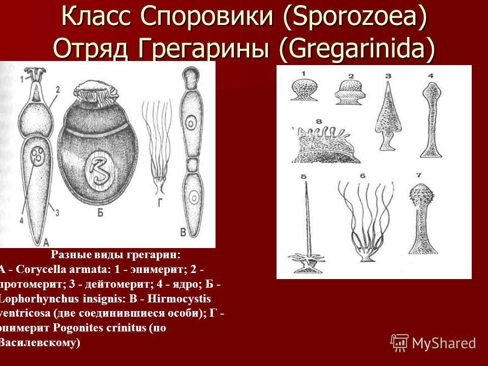Класс Споровики (Sporozoea) Отряд Грегарины (Gregarinida) Разные виды грегарин: А - Corycella armata: 1 - эпимерит; 2 - протомерит; 3 - дейтомерит; 4 - ядро; Б - Lophorhynchus insignis: В - Hirmocystis ventricosa (две соединившиеся особи); Г - эпимер