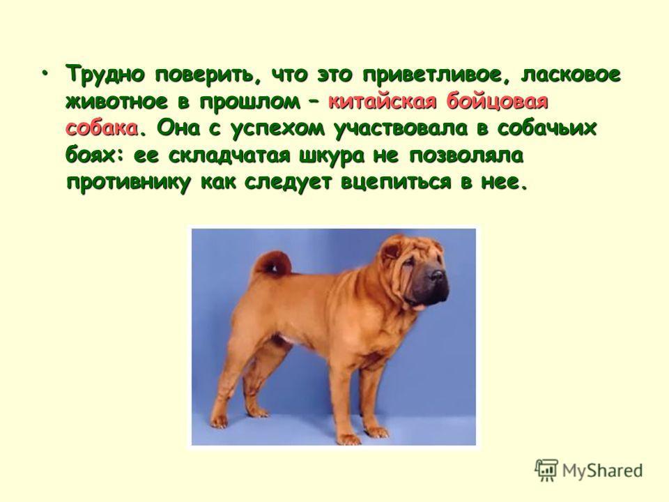 Трудно поверить, что это приветливое, ласковое животное в прошлом – китайская бойцовая собака. Она с успехом участвовала в собачьих боях: ее складчатая шкура не позволяла противнику как следует вцепиться в нее.
