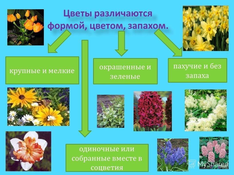 Цветы различаются формой, цветом, запахом. крупные и мелкие окрашенные и зеленые пахучие и без запаха одиночные или собранные вместе в соцветия