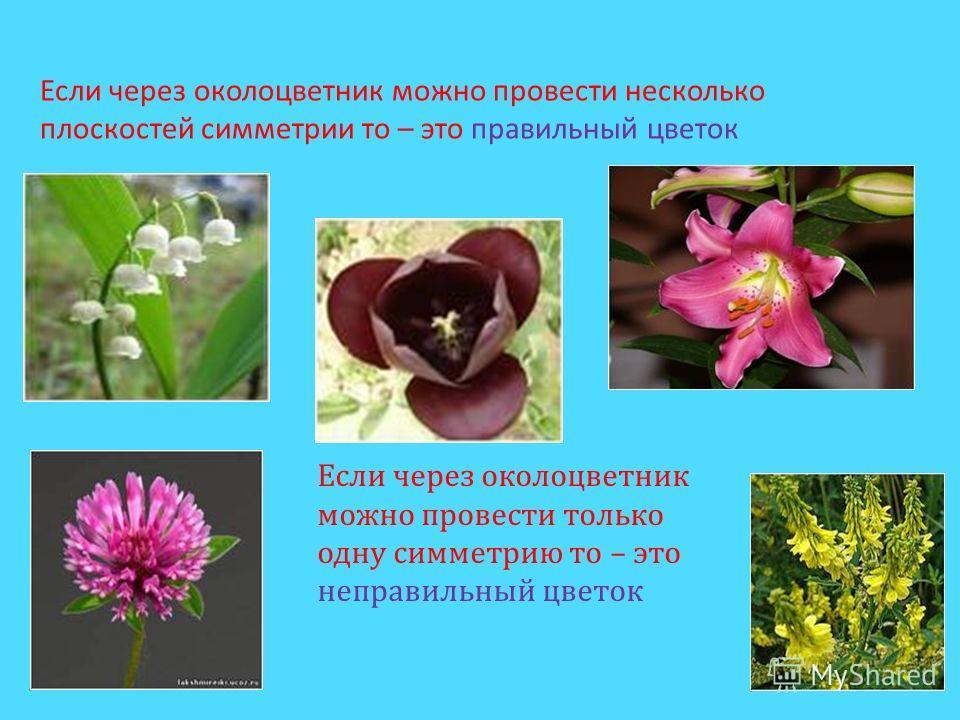 Если через околоцветник можно провести несколько плоскостей симметрии то – это правильный цветок Если через околоцветник можно провести только одну симметрию то – это неправильный цветок