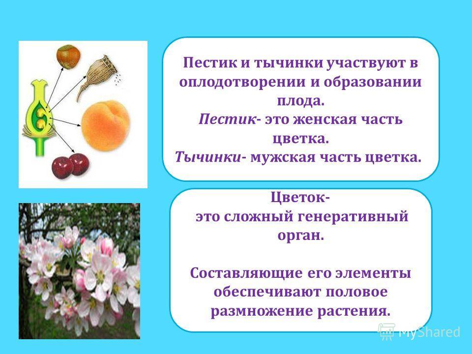 Пестик и тычинки участвуют в оплодотворении и образовании плода. Пестик- это женская часть цветка. Тычинки- мужская часть цветка. Цветок- это сложный генеративный орган. Составляющие его элементы обеспечивают половое размножение растения.