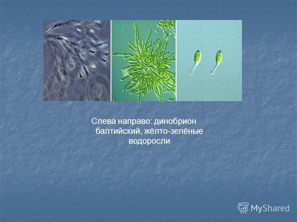 Слева направо: динобрион балтийский, жёлто-зелёные водоросли