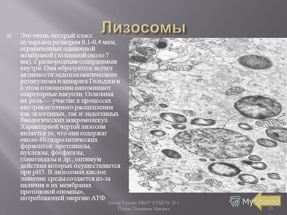 Автор Ученик МБОУ СОШ 26 г. Пензы Лощинин Михаил 10 Это очень пестрый класс пузырьков размером 0,1-0,4 мкм, ограниченных одиночной мембраной ( толщиной около 7 нм ), с разнородным содержимым внутри. Они образуются за счет активности эндоплазматическо
