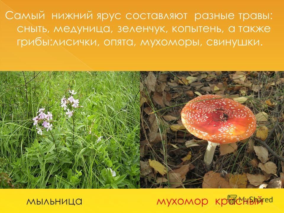 Самый нижний ярус составляют разные травы: сныть, медуница, зеленчук, копытень, а также грибы:лисички, опята, мухоморы, свинушки. мыльница мухомор красный