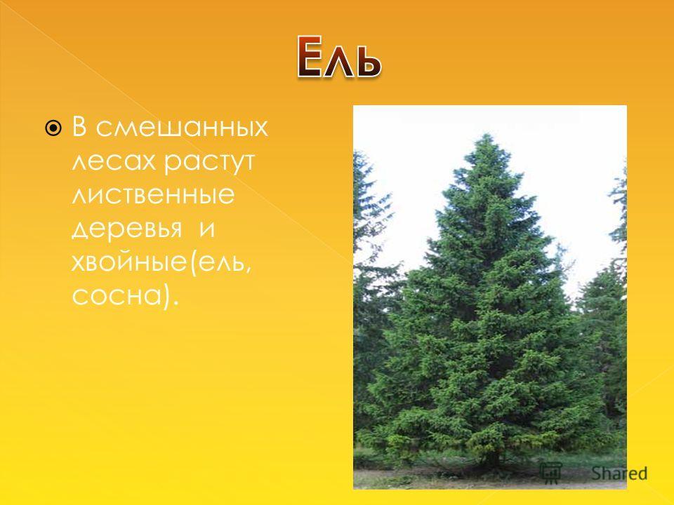 В смешанных лесах растут лиственные деревья и хвойные(ель, сосна).