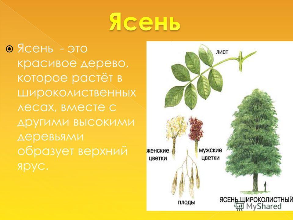 Ясень - это красивое дерево, которое растёт в широколиственных лесах, вместе с другими высокими деревьями образует верхний ярус.
