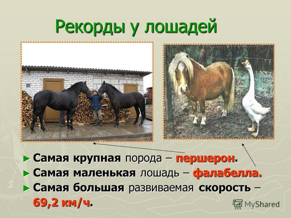 Все ли лошади домашние? В отдельных областях планеты сохранились и дикие лошади, но все они, за исключением африканских зебр, относятся В отдельных областях планеты сохранились и дикие лошади, но все они, за исключением африканских зебр, относятся к