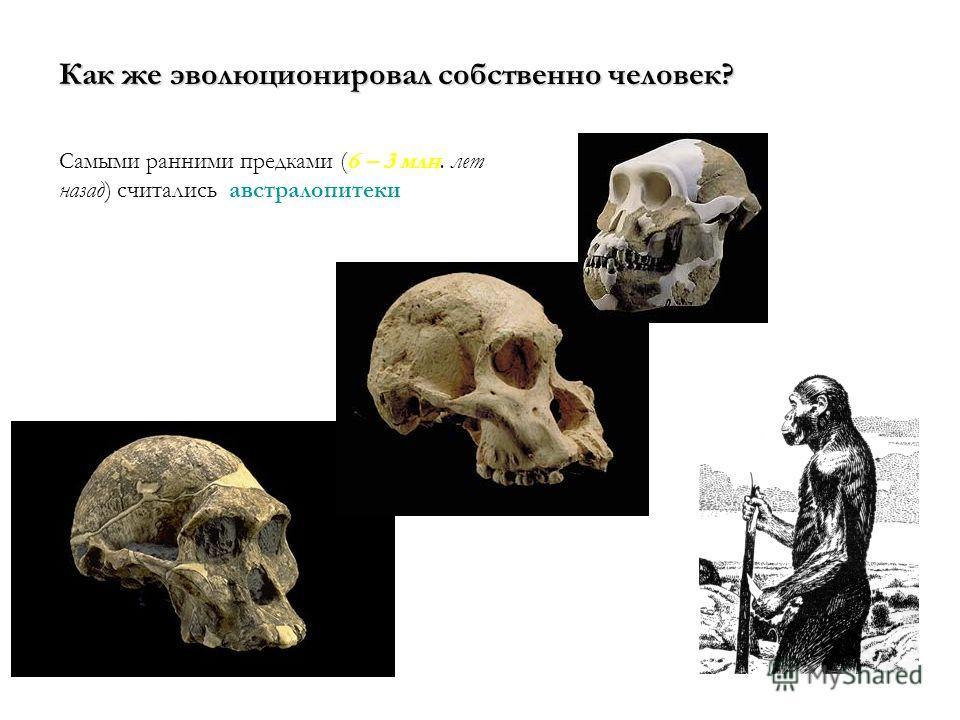 Как же эволюционировал собственно человек? Самыми ранними предками (6 – 3 млн. лет назад) считались австралопитеки