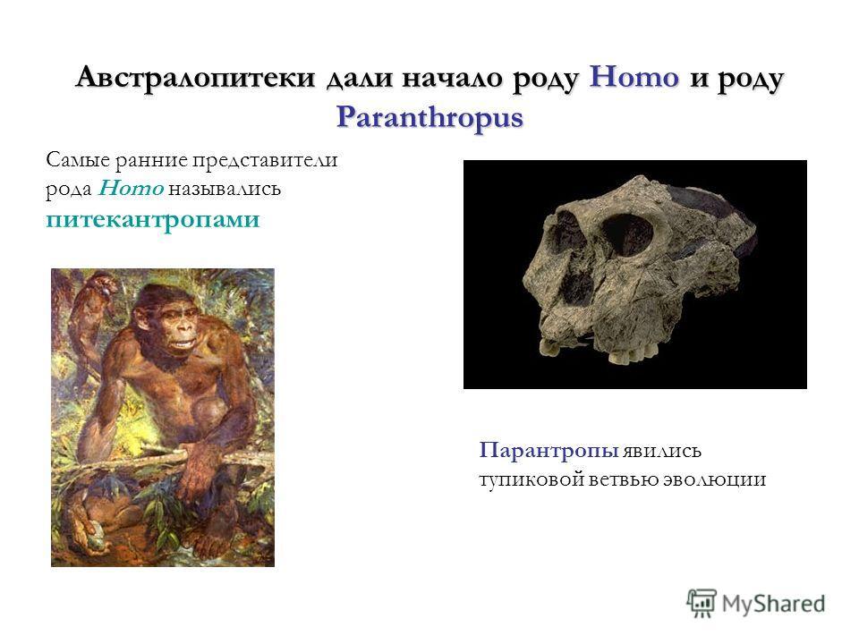 Австралопитеки дали начало роду Homo и роду Paranthropus Самые ранние представители рода Homo назывались питекантропами Парантропы явились тупиковой ветвью эволюции