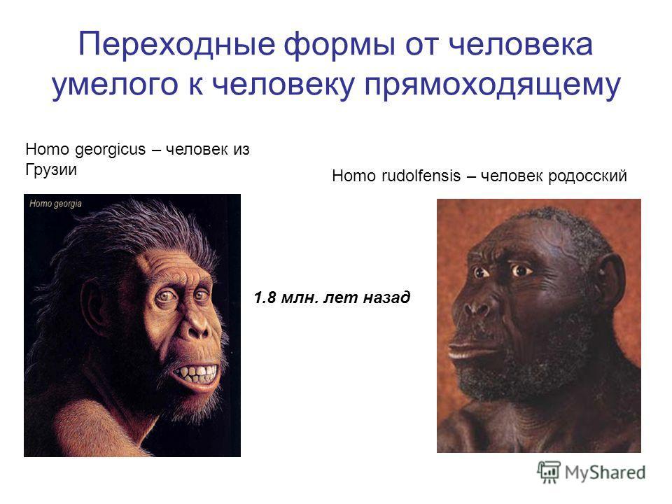Переходные формы от человека умелого к человеку прямоходящему Homo rudolfensis – человек родосский Homo georgicus – человек из Грузии 1.8 млн. лет назад