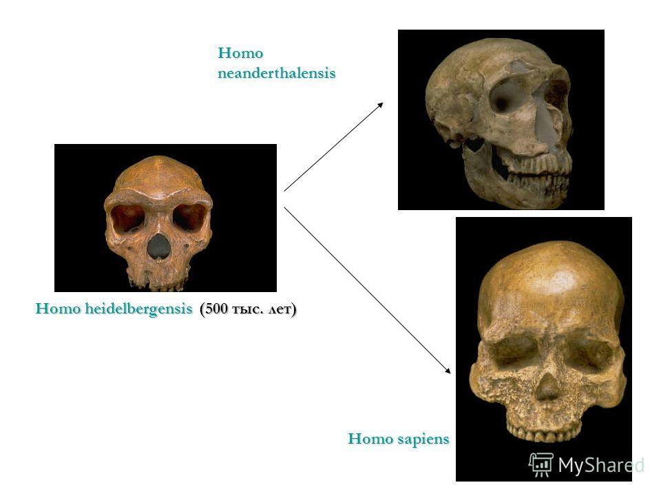 Homo heidelbergensis (500 тыс. лет) Homo neanderthalensis Homo sapiens