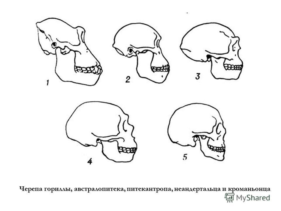 Черепа гориллы, австралопитека, питекантропа, неандертальца и кроманьонца