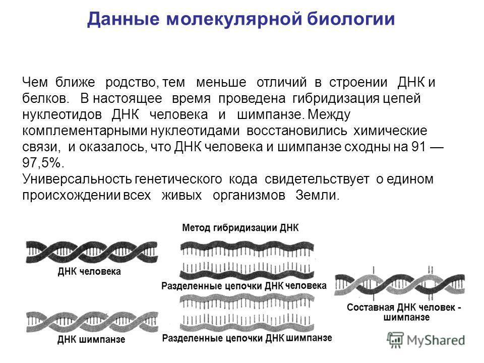 Чем ближе родство, тем меньше отличий в строении ДНК и белков. В настоящее время проведена гибридизация цепей нуклеотидов ДНК человека и шимпанзе. Между комплементарными нуклеотидами восстановились химические связи, и оказалось, что ДНК человека и ши