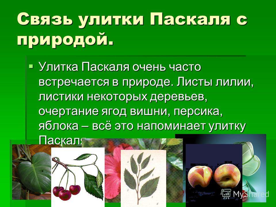 Связь улитки Паскаля с природой. Улитка Паскаля очень часто встречается в природе. Листы лилии, листики некоторых деревьев, очертание ягод вишни, персика, яблока – всё это напоминает улитку Паскаля. Улитка Паскаля очень часто встречается в природе. Л