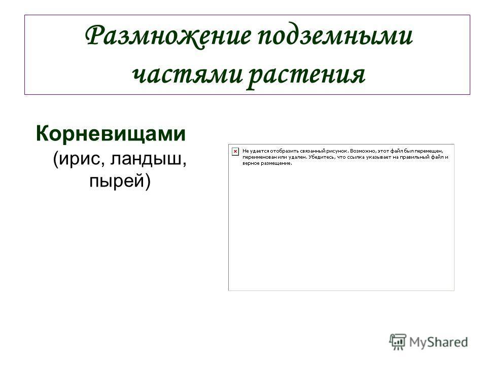 Размножение подземными частями растения Корневищами (ирис, ландыш, пырей)