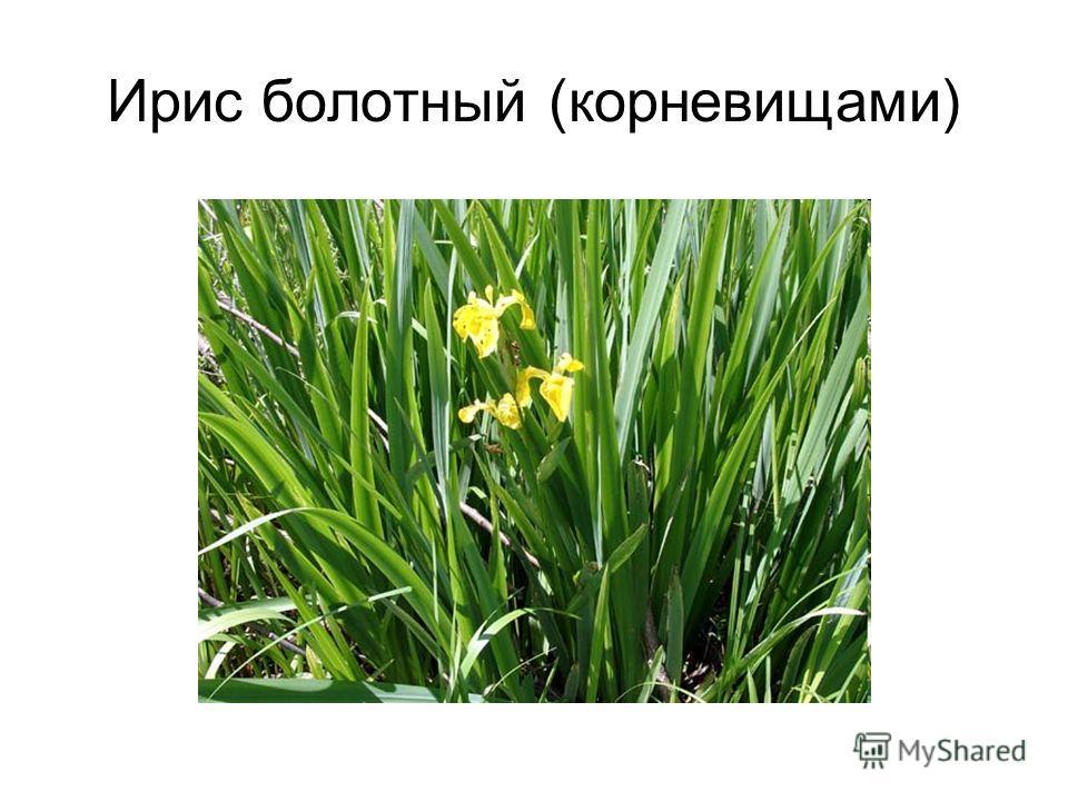 Ирис болотный (корневищами)
