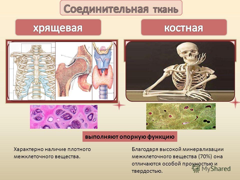 выполняют опорную функцию -находится в хрящевой части ребер (в области соединения с грудиной), - в воздухоносных путях (гортань, трахея, бронхи), -на суставных поверхностях костей. - в органах, подверженных изгибам (например ушная раковина). -формиру