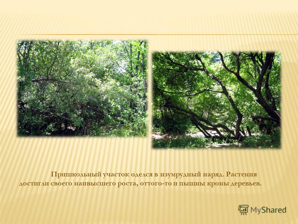 Пришкольный участок оделся в изумрудный наряд. Растения достигли своего наивысшего роста, оттого-то и пышны кроны деревьев.
