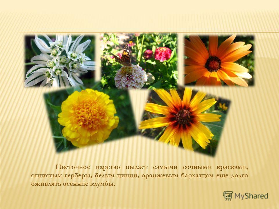 Цветочное царство пылает самыми сочными красками, огнистым герберы, белым цинии, оранжевым бархатцам еще долго оживлять осенние клумбы.