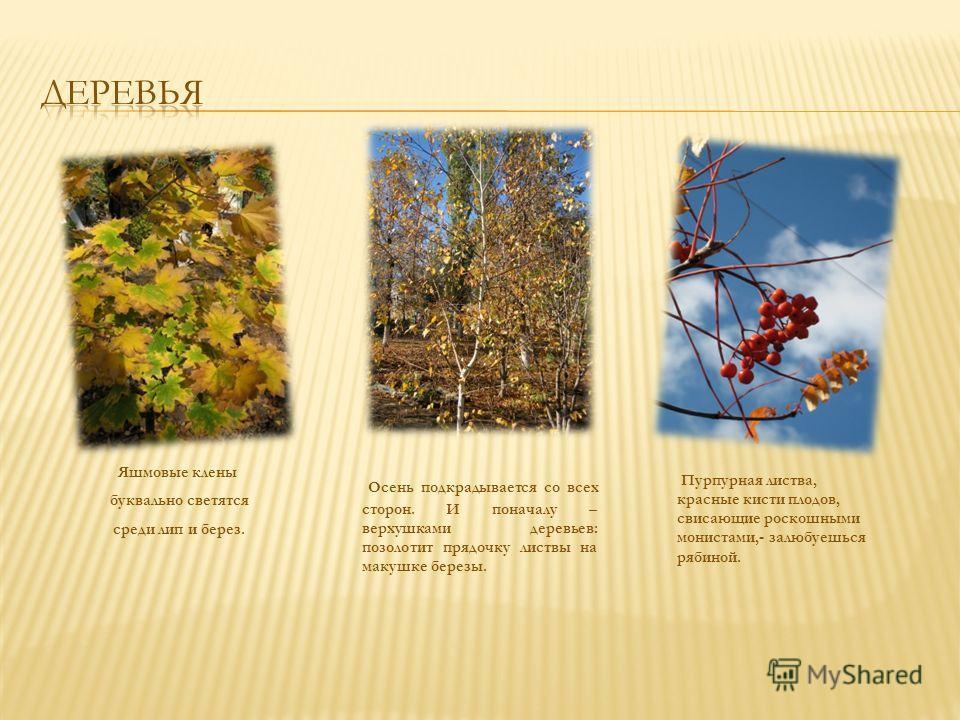 Яшмовые клены буквально светятся среди лип и берез. Осень подкрадывается со всех сторон. И поначалу – верхушками деревьев: позолотит прядочку листвы на макушке березы. Пурпурная листва, красные кисти плодов, свисающие роскошными монистами,- залюбуешь