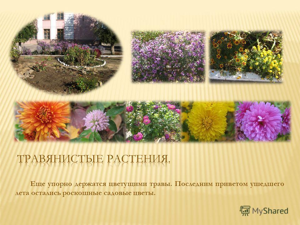 Еще упорно держатся цветущими травы. Последним приветом ушедшего лета остались роскошные садовые цветы.