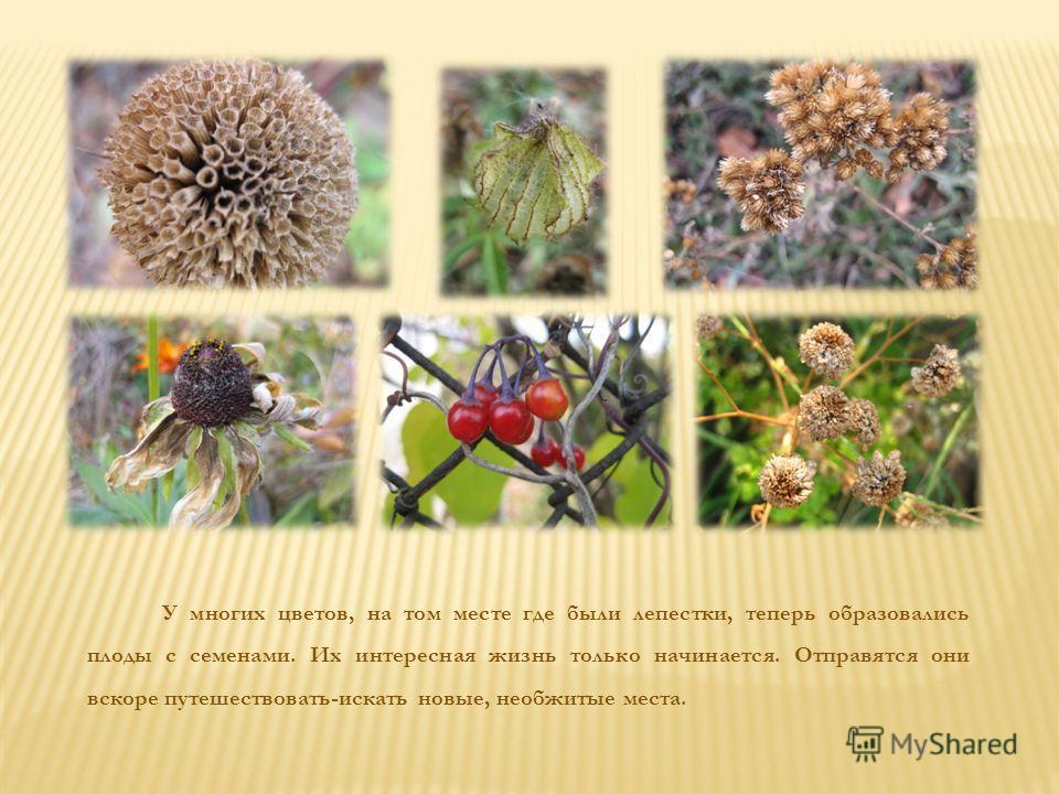 У многих цветов, на том месте где были лепестки, теперь образовались плоды с семенами. Их интересная жизнь только начинается. Отправятся они вскоре путешествовать-искать новые, необжитые места.