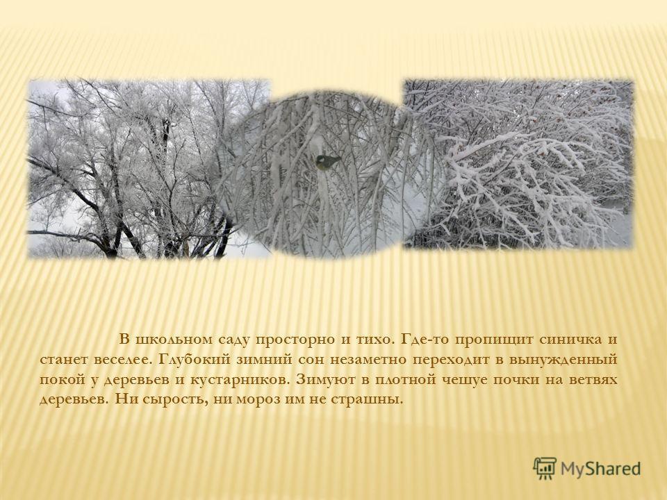 В школьном саду просторно и тихо. Где-то пропищит синичка и станет веселее. Глубокий зимний сон незаметно переходит в вынужденный покой у деревьев и кустарников. Зимуют в плотной чешуе почки на ветвях деревьев. Ни сырость, ни мороз им не страшны.