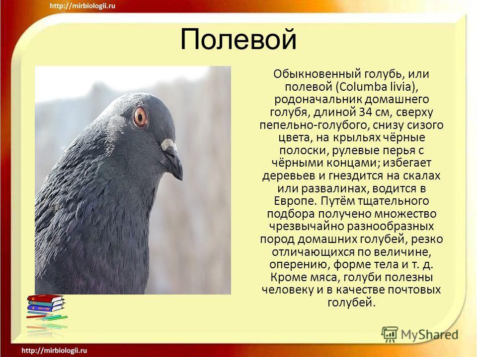 Полевой Обыкновенный голубь, или полевой (Columba livia), родоначальник домашнего голубя, длиной 34 см, сверху пепельно-голубого, снизу сизого цвета, на крыльях чёрные полоски, рулевые перья с чёрными концами; избегает деревьев и гнездится на скалах