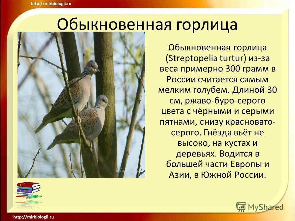 Обыкновенная горлица Обыкновенная горлица (Streptopelia turtur) из-за веса примерно 300 грамм в России считается самым мелким голубем. Длиной 30 см, ржаво-буро-серого цвета с чёрными и серыми пятнами, снизу красновато- серого. Гнёзда вьёт не высоко,