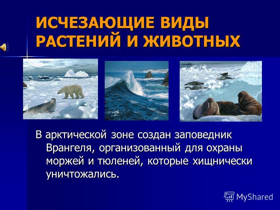 ИСЧЕЗАЮЩИЕ ВИДЫ РАСТЕНИЙ И ЖИВОТНЫХ В арктической зоне создан заповедник Врангеля, организованный для охраны моржей и тюленей, которые хищнически уничтожались.
