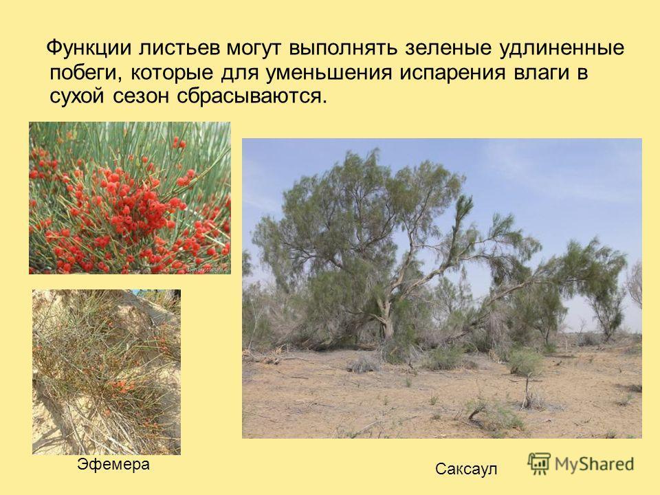 Функции листьев могут выполнять зеленые удлиненные побеги, которые для уменьшения испарения влаги в сухой сезон сбрасываются. Саксаул Эфемера