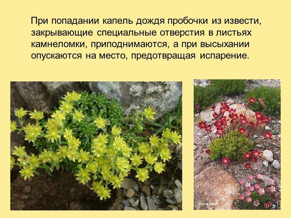 При попадании капель дождя пробочки из извести, закрывающие специальные отверстия в листьях камнеломки, приподнимаются, а при высыхании опускаются на место, предотвращая испарение.