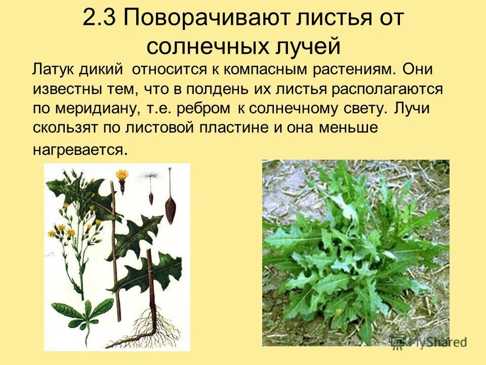 2.3 Поворачивают листья от солнечных лучей Латук дикий относится к компасным растениям. Они известны тем, что в полдень их листья располагаются по меридиану, т.е. ребром к солнечному свету. Лучи скользят по листовой пластине и она меньше нагревается.