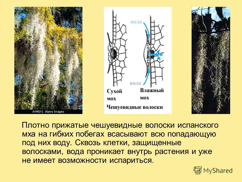 Плотно прижатые чешуевидные волоски испанского мха на гибких побегах всасывают всю попадающую под них воду. Сквозь клетки, защищенные волосками, вода проникает внутрь растения и уже не имеет возможности испариться.
