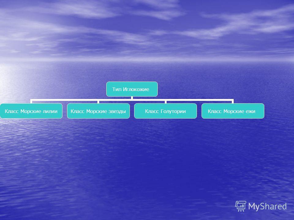Тип Иглокожие Класс Морские лилии Класс Морские звезды Класс Голутории Класс Морские ежи