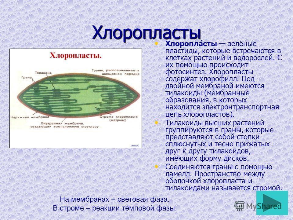 Хлоропласты Хлоропла́сты зелёные пластиды, которые встречаются в клетках растений и водорослей. С их помощью происходит фотосинтез. Хлоропласты содержат хлорофилл. Под двойной мембраной имеются тилакоиды (мембранные образования, в которых находится э