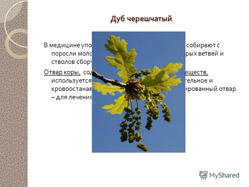 Дуб черешчатый В медицине употребляется кора дуба, которую собирают с поросли молодых ветвей и стволов. Кора старых ветвей и стволов сбору не подлежит. Отвар коры, содержащий до 20 % дубильных веществ, используется как вяжущее, противовоспалительное