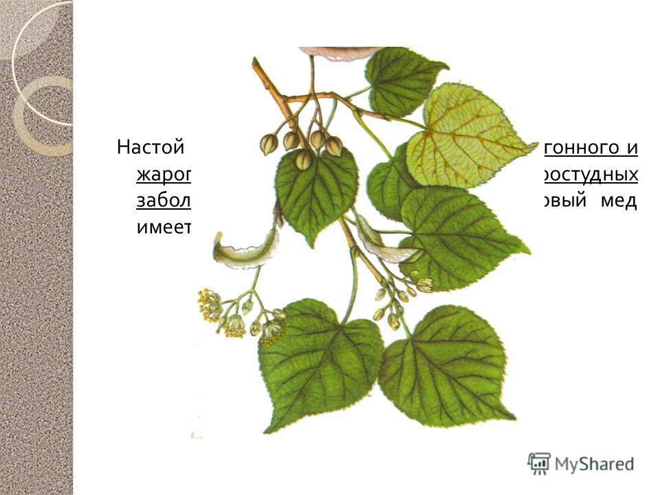Липа мелколистная Настой цветков применяют в качестве потогонного и жаропонижающего средства при простудных заболеваниях, как бактерицидное. Липовый мед имеет лечебное значение.