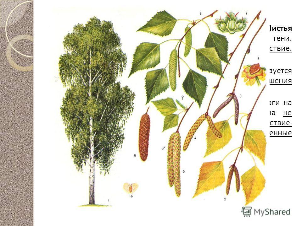 Береза повислая Почки собирают до их распускания, а затем сушат. Листья собирают во время цветения, пока они молодые, сушат в тени. Почки и листья оказывают мочегонное и желчегонное действие. В них содержатся эфирные масла витамин С, фитонциды. Берез