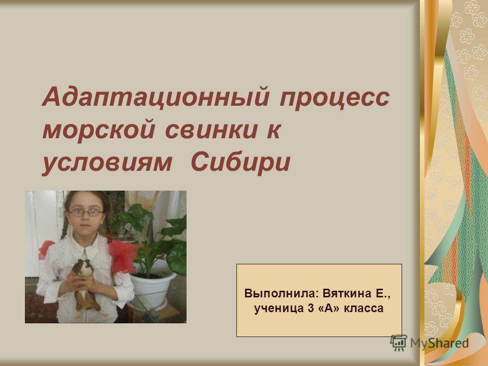 Адаптационный процесс морской свинки к условиям Сибири Выполнила: Вяткина Е., ученица 3 «А» класса