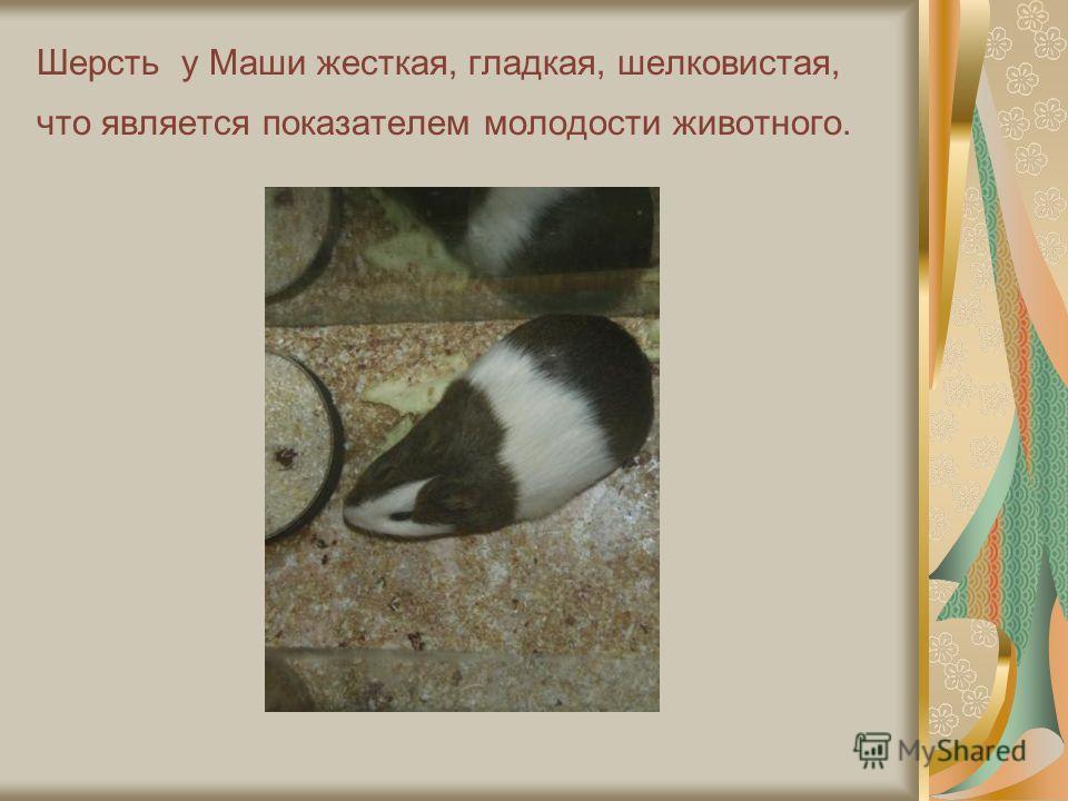 Шерсть у Маши жесткая, гладкая, шелковистая, что является показателем молодости животного.
