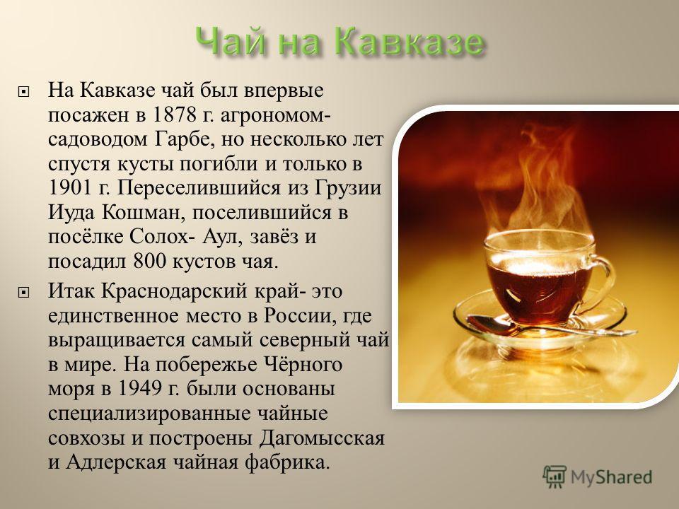 На Кавказе чай был впервые посажен в 1878 г. агрономом - садоводом Гарбе, но несколько лет спустя кусты погибли и только в 1901 г. Переселившийся из Грузии Иуда Кошман, поселившийся в посёлке Солох - Аул, завёз и посадил 800 кустов чая. Итак Краснода