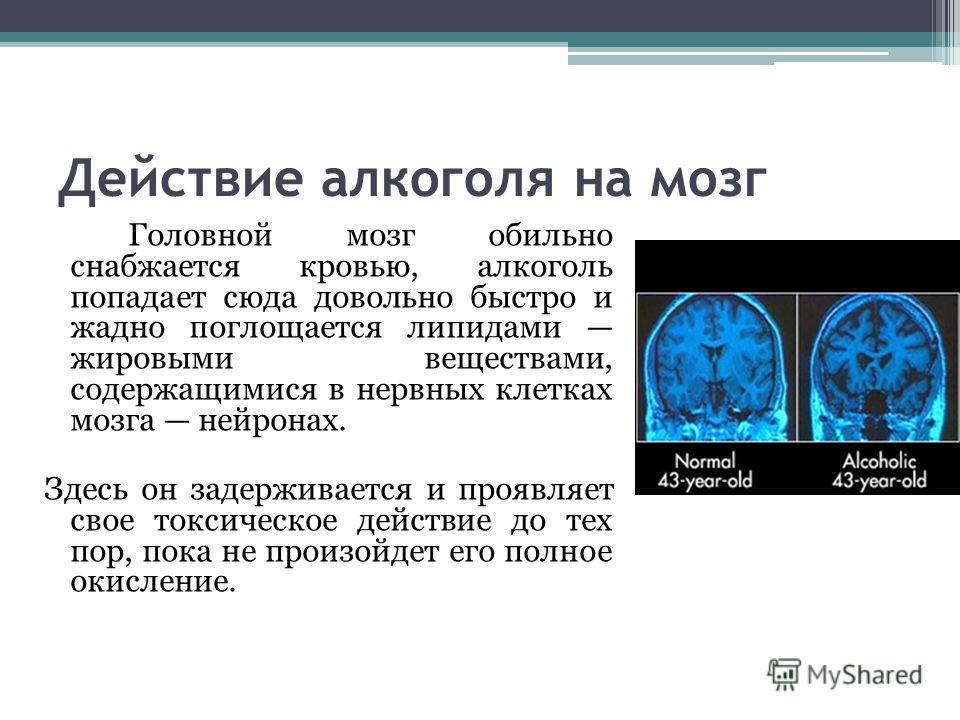 Действие алкоголя на мозг Головной мозг обильно снабжается кровью, алкоголь попадает сюда довольно быстро и жадно поглощается липидами жировыми веществами, содержащимися в нервных клетках мозга нейронах. Здесь он задерживается и проявляет свое токсич