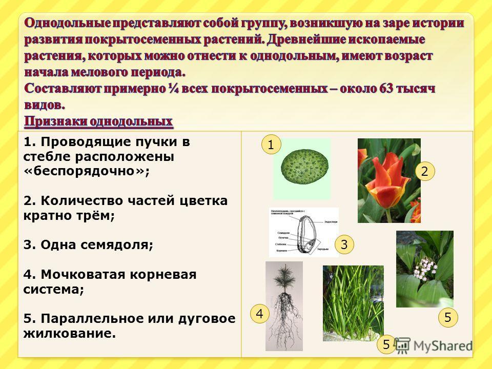 1. Проводящие пучки в стебле расположены «беспорядочно»; 2. Количество частей цветка кратно трём; 3. Одна семядоля; 4. Мочковатая корневая система; 5. Параллельное или дуговое жилкование. 1 4 5 3 2 5