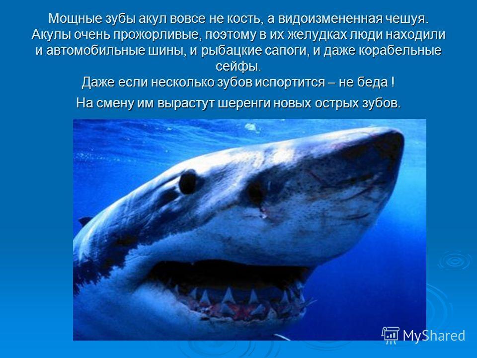 Мощные зубы акул вовсе не кость, а видоизмененная чешуя. Акулы очень прожорливые, поэтому в их желудках люди находили и автомобильные шины, и рыбацкие сапоги, и даже корабельные сейфы. Даже если несколько зубов испортится – не беда ! На смену им выра
