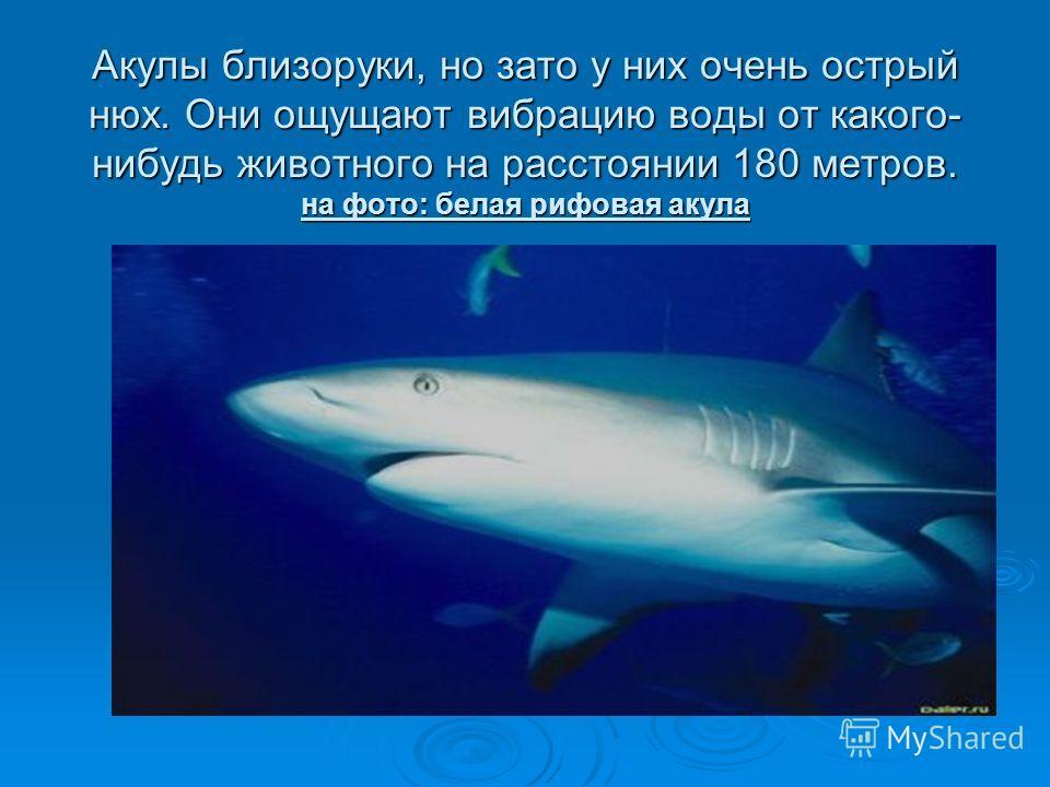 Акулы близоруки, но зато у них очень острый нюх. Они ощущают вибрацию воды от какого- нибудь животного на расстоянии 180 метров. на фото: белая рифовая акула
