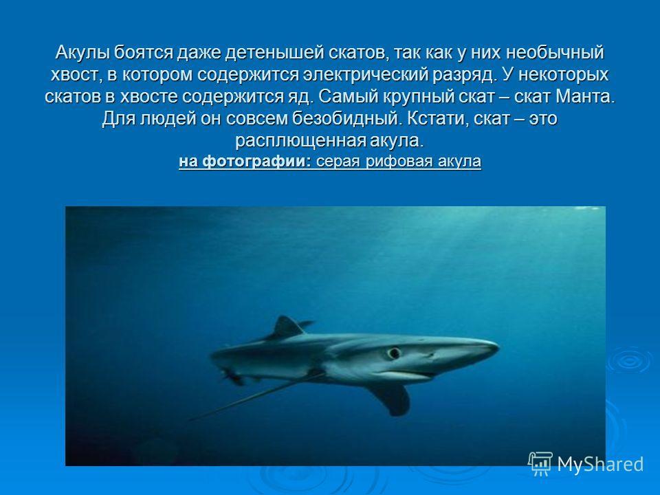 Акулы боятся даже детенышей скатов, так как у них необычный хвост, в котором содержится электрический разряд. У некоторых скатов в хвосте содержится яд. Самый крупный скат – скат Манта. Для людей он совсем безобидный. Кстати, скат – это расплющенная