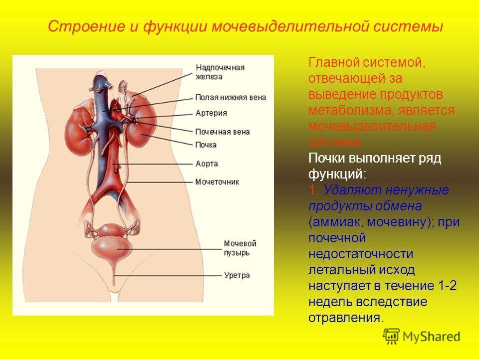 Строение и функции мочевыделительной системы Главной системой, отвечающей за выведение продуктов метаболизма, является мочевыделительная система. Почки выполняет ряд функций: 1. Удаляют ненужные продукты обмена (аммиак, мочевину); при почечной недост