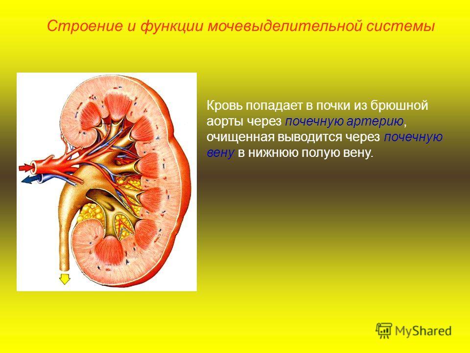 Кровь попадает в почки из брюшной аорты через почечную артерию, очищенная выводится через почечную вену в нижнюю полую вену. Строение и функции мочевыделительной системы