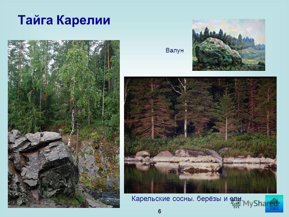 6 Тайга Карелии Карельские сосны. берёзы и ели. Валун